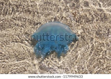 Jellyfish blue Jellyfish Jellyfish, anemones and corals  ไฟลัมไนดาเรีย (ชื่อวิทยาศาสตร์: Cnidaria) หรือ เคยมีชื่อว่า ไฟลัมซีเลนเตอราตา หรือพวก ซีเลนเตอราตา #1179949633