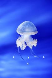 Jellyfish in Genoa aquarium, Italy, Europe