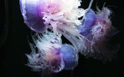 Jellyfish Monterey Aquarium California