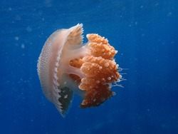 Jellyfish or sea jellies are the informal common names given to the medusa-phase of certain gelatinous members of the subphylum Medusozoa, a major part of the phylum Cnidaria.