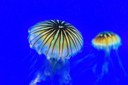 Jellyfish or sea jelly swimming underwater. The animal has vibrant colors