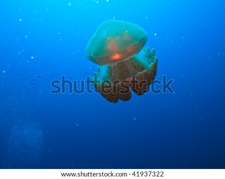 Jellyfish, Rhizostome Cnidarins, floating on Great Barrier Reef Australia