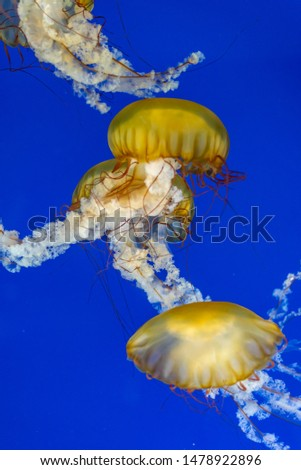 Jellyfish seen in local aquarium, lit beautifully by a blue field and bright lights. Plenty of copy space.  #1478922896