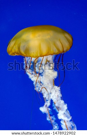 Jellyfish seen in local aquarium, lit beautifully by a blue field and bright lights. Plenty of copy space.  #1478922902