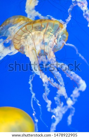 Jellyfish seen in local aquarium, lit beautifully by a blue field and bright lights. Plenty of copy space.  #1478922905