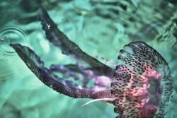 Jellyfish swimming in the sea. mauve stinger