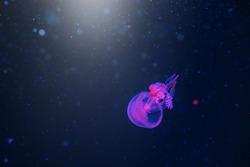 Jellyfish underwater. Blue blubber jellyfish catostylus mosaicus floating in deep blue water. Underwater life in ocean