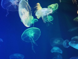 Jellyfish with blue neon glow light effect in sea aquarium