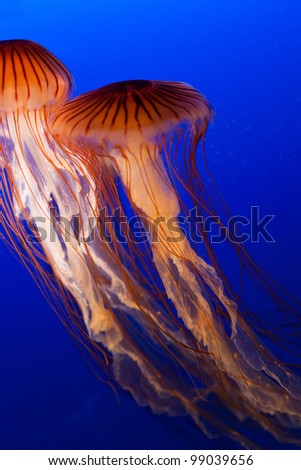 jellyfish with blue ocean water - stock photo
