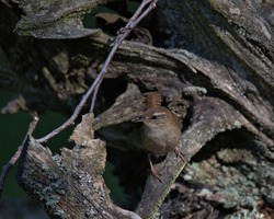 Jenny Wren,Eurasian wren perched on an old tree stump in sunlight