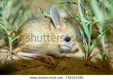 Shutterstock Jerboa / Jaculus The jerboa are a steppe animal and lead a nocturnal life