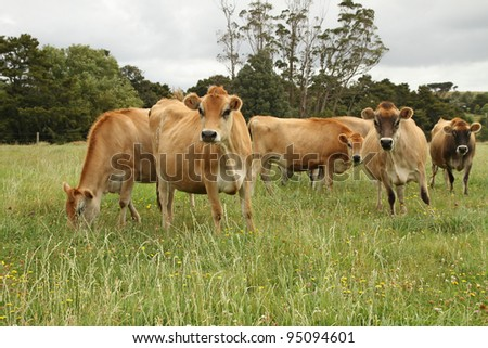 Jersey cows, New Zealand - stock photo