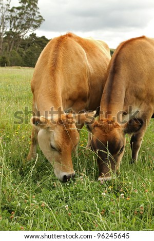 Jersey cows , New Zealand