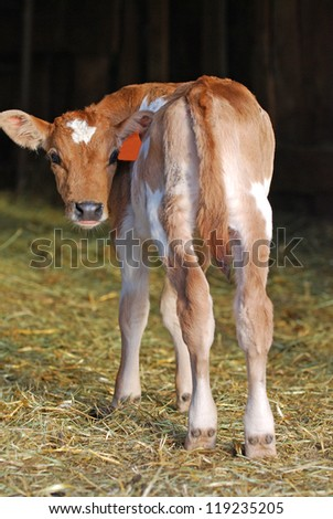 Jersey dairy calf standing in straw looking backwards.