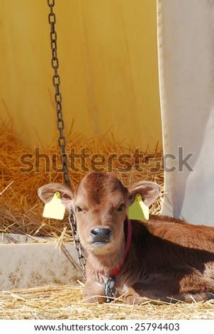 Jersey dairy heifer calf a few days old.