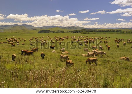 jersey herd grazing on a dairy farm in the Drakensberg foothills,