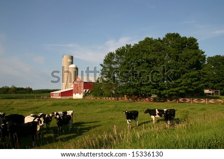 Jersey milk cows for dairy production in farmer's field in Canada