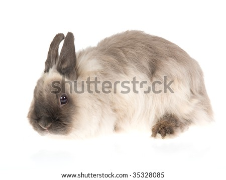 Jersey Wooly shaded blue pointed white domestic rabbit, on white background