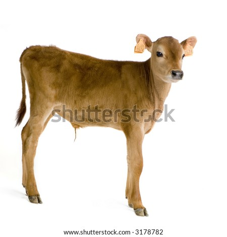 Jersiaise calf in front of a white background