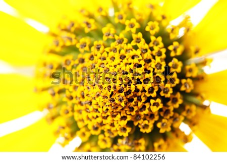Jerusalem Artichoke (Earth Apple) Flower Closeup