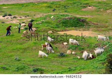 JERUSALEM - FEBRUARY 18: Palestinian sheep herders in a field February 18, 2012 in Jerusalem, IL. Herding is a traditional occupation in the region since antiquity.