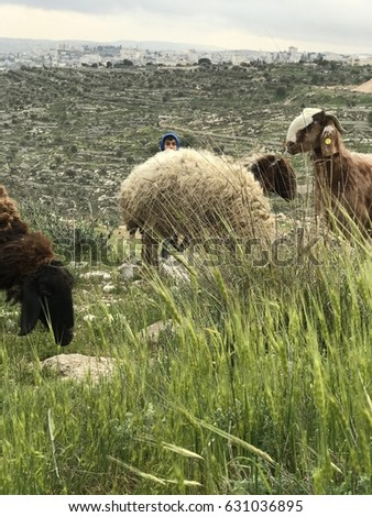JERUSALEM, MARCH 19, 2017: A young Shepherd boy oversees his flock of Sheep grazing on an overlook of Bethlehem in Jerusalem, Israel. #631036895