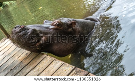 Jessica the Hippo lives in a home in south africa and has been on TV many times. It was hand raised and is use to humans.