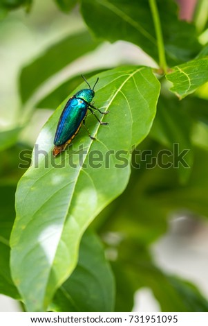 Jewel beetle #731951095