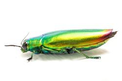Jewel beetle (Chrysochroa fulminans) Isolated on white background.