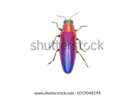 Jewel beetle (Chrysochroa fulminans nishiyamai) one of world's most beautiful beetle from Sinuk, Indonesia. Isolated on white background.