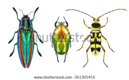 Jewel beetle (metallic wood-boring beetle), flower chafer and flower long-horn beetle isolated on a white background #361305455