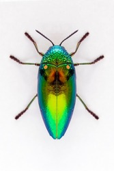 Jewel beetle (Sternocera aequisignata, Metallic wood-boring beetle, Buprestid, Buprestidae) top view isolated on white background.- Selective center focus on wing.