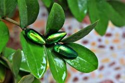 Jewel beetle (Sternocera aequisignata, Metallic wood-boring beetle on leave tree blur background,Emerald insect