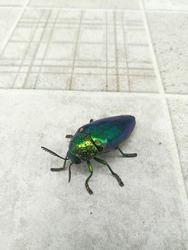 Jewel beetle, the green bug that looks shiney