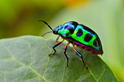 Jewel bug (Chrysocoris stollii) Beetle, Shield bug which belong to the Scutelleridae family and are actually true bug.They are often brilliantly colored, exhibiting a wide range of iridescent metallic