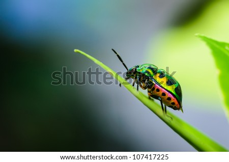 Jewel bug in the green nature