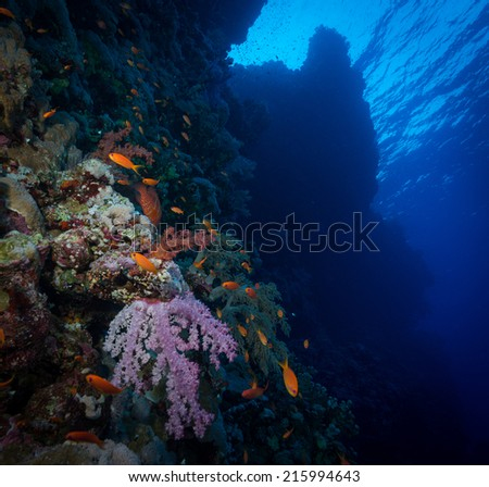 Jewel Fairy Basslet (Anthias squamipinnis) in the Red Sea, Egypt #215994643