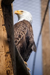 Jimmie, bald eagle from Eco Museum Zoo in Montreal