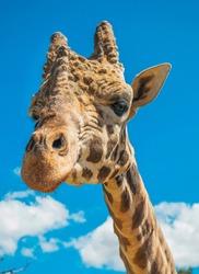 jirafa con fondo cielo azul