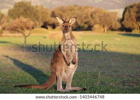 Joey kangaroo at sunset and hills background.  South Australia.