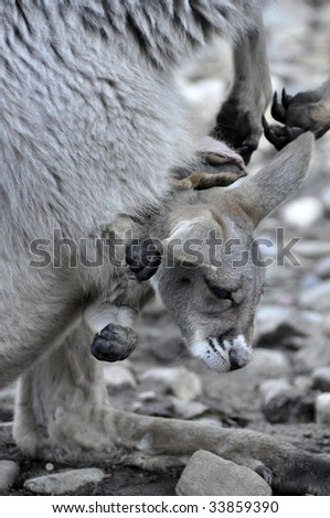 Stock Photo Of A Joey In Kangaroos Pouch