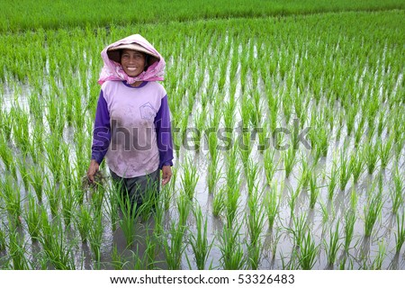 JOGJAKARTA, INDONESIA - MAY 15: Old farmer tends to her young paddy seedling in the paddy field May 15, 2010 in Jogjakarta. Indonesia is currently the world's 4th largest producer of rice in the world