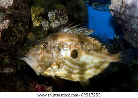 John Dory (zeus faber) in aquarium