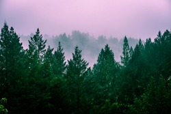 John Muir Woods, Sonoma, California/USA: June 2018: Redwood trees in fog