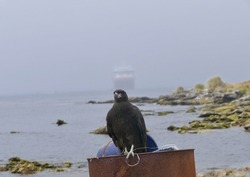 Johnny rook bird sitting on barrel with ship in background, Falkland Islands