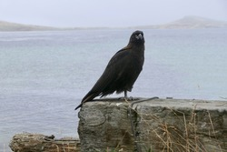 Johnny rook bird sitting on stone before water, Falkland Islands