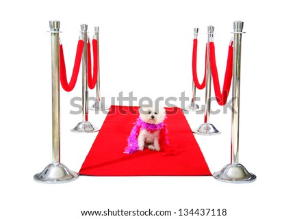 Jolie a Pure Breed Bichon Frise dog, relaxes on her HOLLYWOOD RED CARPET while she awaits on her Paparazzi to come take her pictures after her latest movie premier. - stock photo
