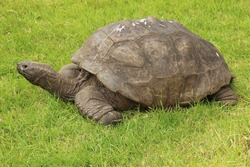 Jonathan, a Seychelles giant tortoise, and possibly the oldest animal alive, on the grounds of Plantation House on St Helena