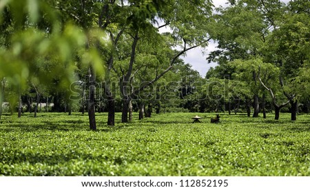 JORHAT, ASSAM - AUGUST 25: Unidentified women tea-leaf harvesters working in a tea plantation lush green with the secong flush of tea leaves photographed on August 25, 2011 in Jorhat, Assam,