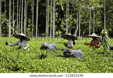 JORHAT, ASSAM - AUGUST 25: Unidentified women tea-leaf harvesters working in a tea plantation lush green with the secong flush of tea leaves  on August 25, 2011 in Jorhat, Assam, India